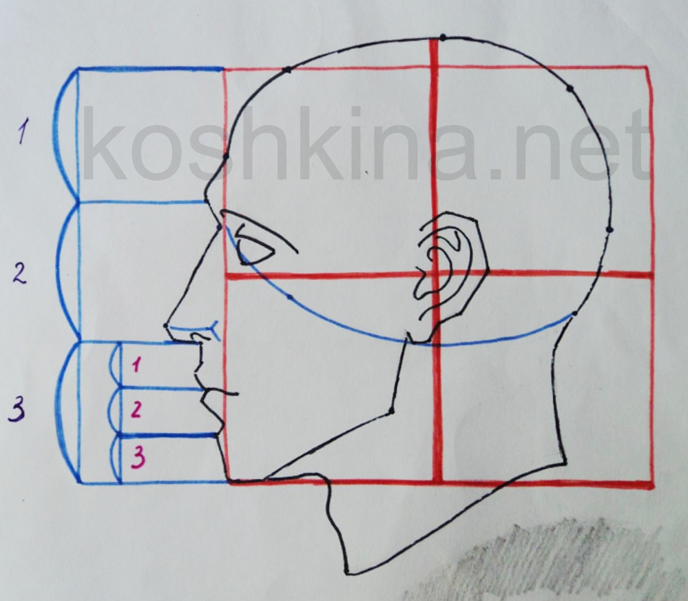 пропорции человека. рисунок голова